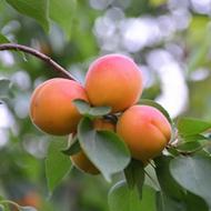 果园直发大黄杏5斤