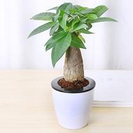 发财树吊兰芦荟室内绿植