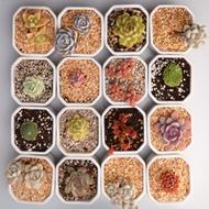 绿依人多肉植物新手套餐组合