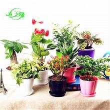 春之缘绿色植物桌面盆栽